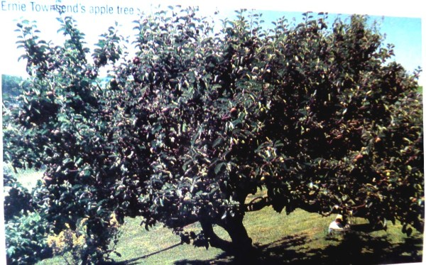 The old  apple  tree in the 1970's, laden with fruit.