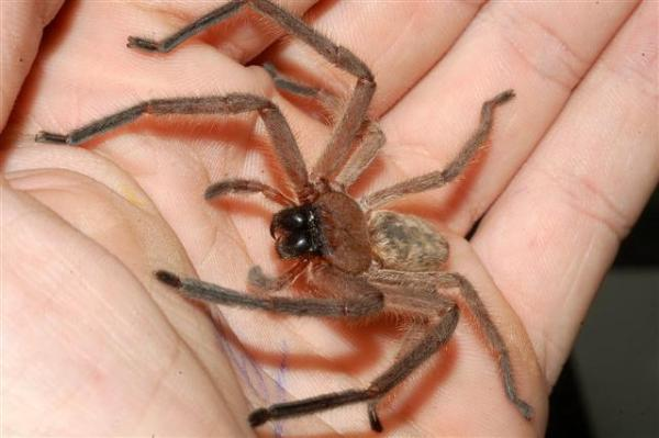 Huntsman spider. Huge, but harmless..generally speaking!