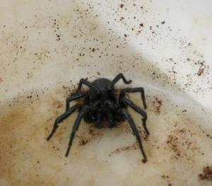 The feared funnel-web.