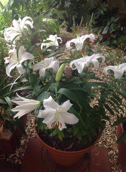 Christmas lilies.