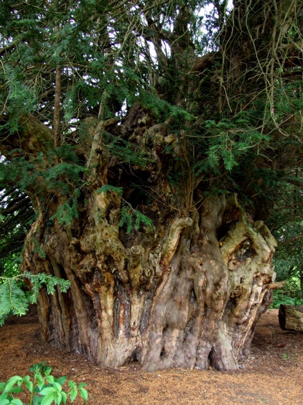 The ancient Ankerwycke Yew , 2.500 years old.