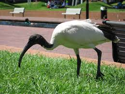 The 'chip packet' beak of the ibis!