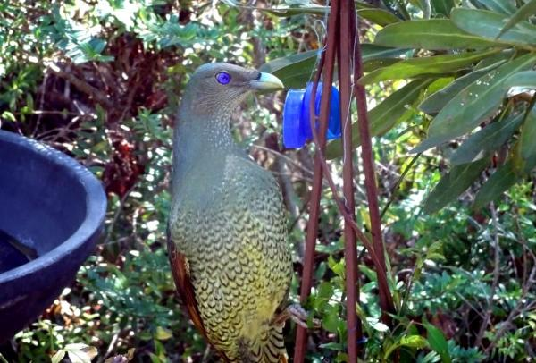 Bowerbird about to steal blue treasures