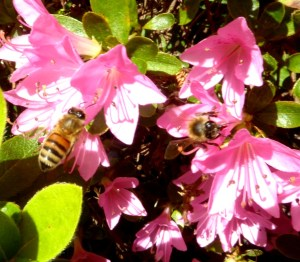 The bees love azaleas.
