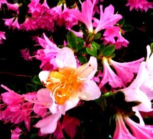 deshoneypatersoniaflowersetc-001