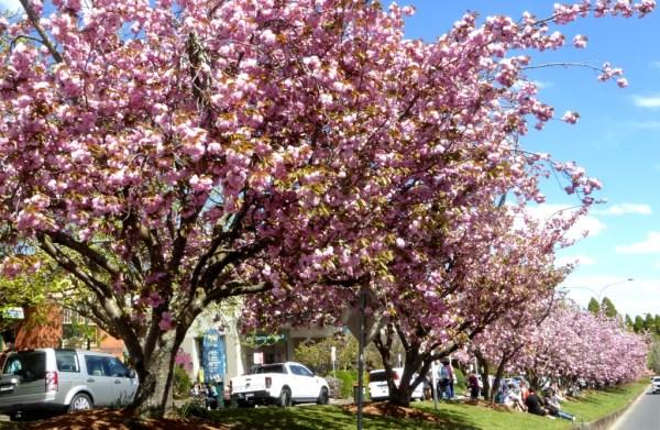 Cherry trees in Leura