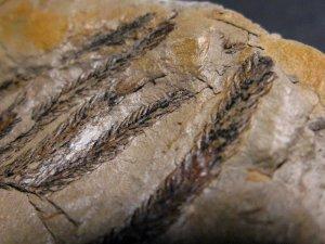 Fossilized Lycopodium
