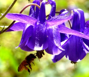Bee visiting aquilegia