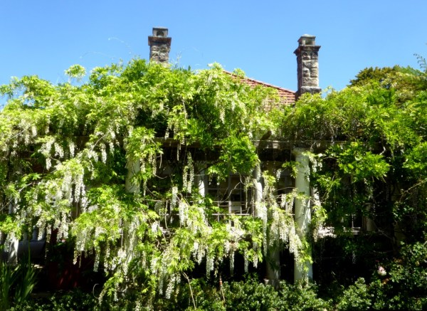 White wisteria is a joy in spring.