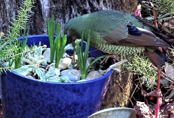 Satin Bowerbirds with its first black plumage.