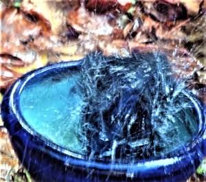 Satin bowerbird bathing