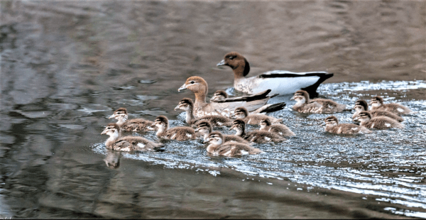 Wood duck family