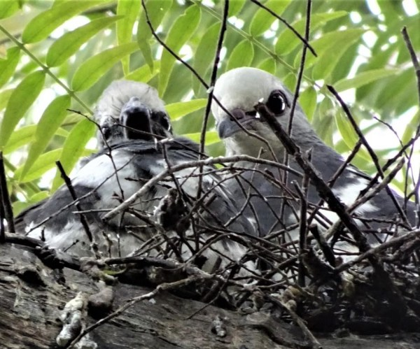 Wonga chicks in nest.