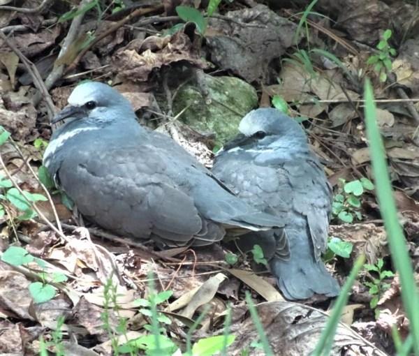 Wonga chicks