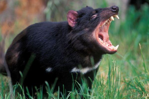 Tasmanian Devil looking very fierce.