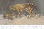 TIGER OF THE TASMANIAN KIND
