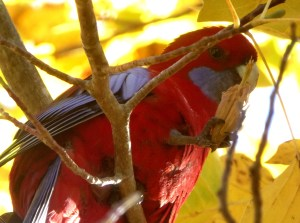 Crimson rosella and tulip tree seed.