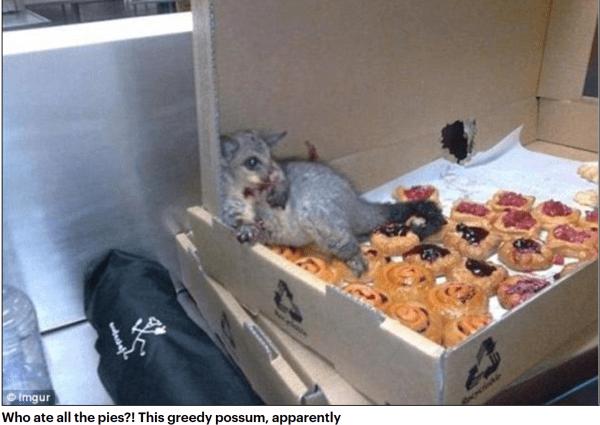 Pie eating possum
