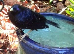 Male Satin Bowerbird