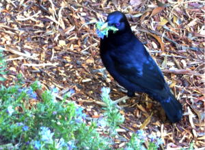 Adult male bowerbird