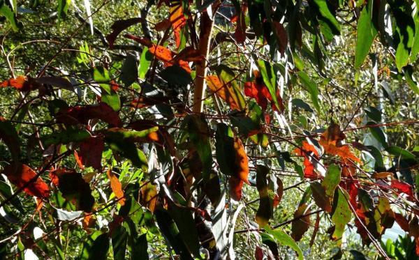 Gum leaves lit by morning sun.