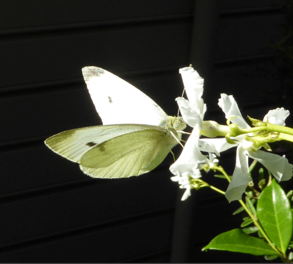 Moth on star jasmine