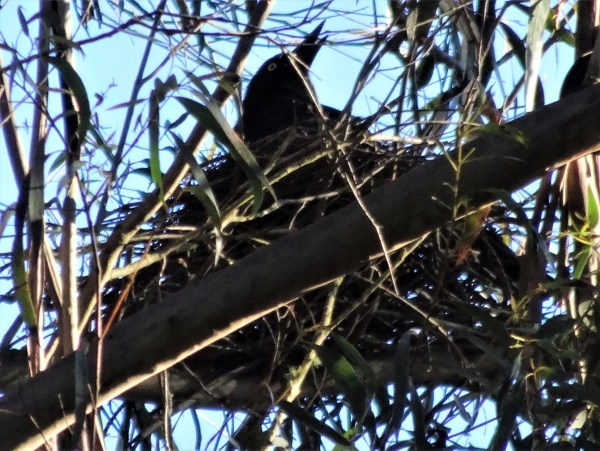 Currawong on nest