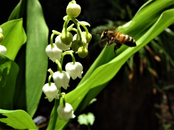 Bees are attracted to lily-of-the-valley