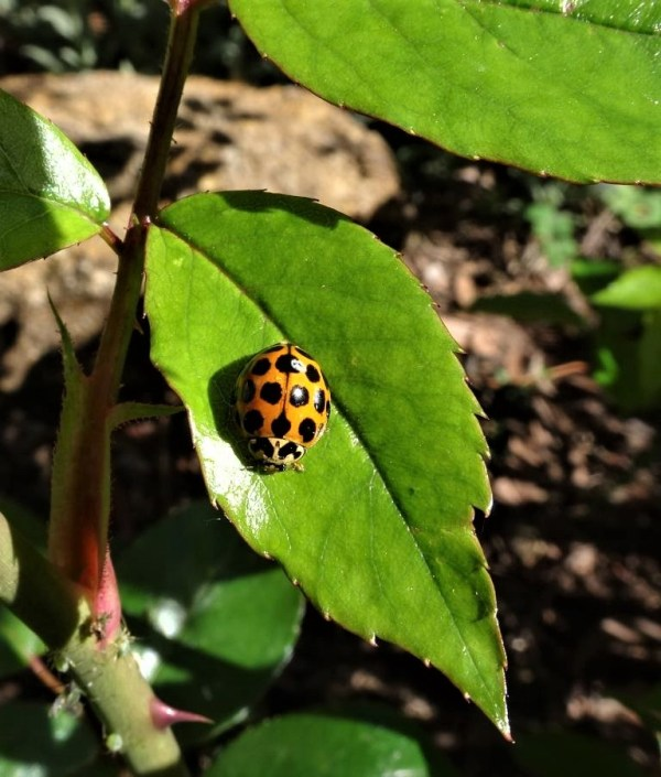 Ladybird on rose leaf
