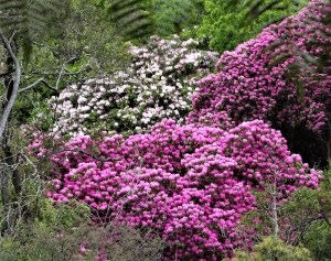 Rododendrons, Memorial Park, Blackheath