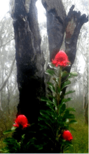 Waratahs blooming after fires.