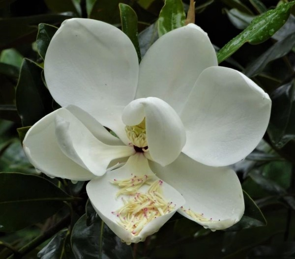 Bull Bay magnolia bloom