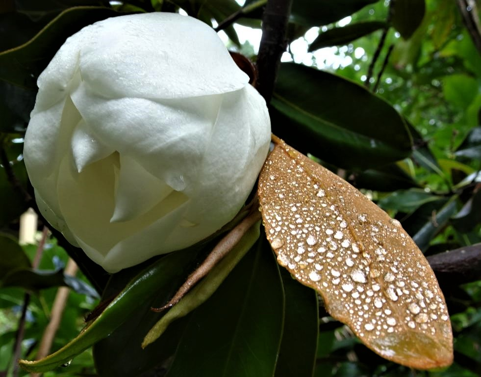 The white magnolia tree pauline conolly magnolia grandiflora mightylinksfo Images