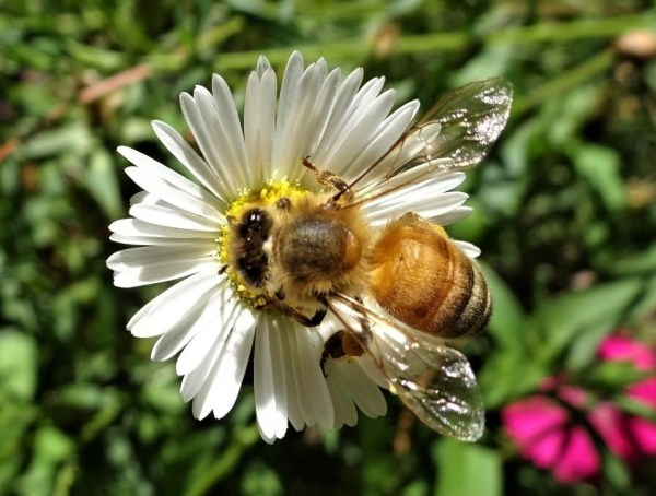 Bee on seaside daisy flower
