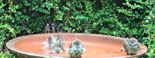 Thornbills in the Lonicera birdbath.