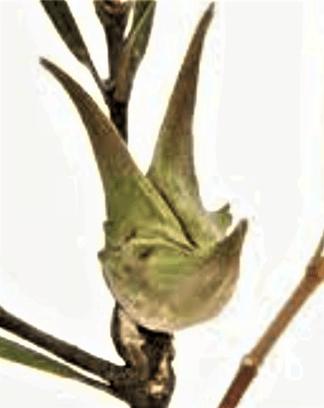 Seed capsule from Lambertia formosa