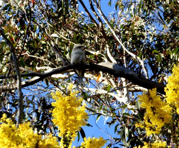 Gum, wattle nd a kooka.