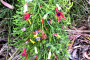 Lycopodium with correa alba ornaments as a Christmas tree.