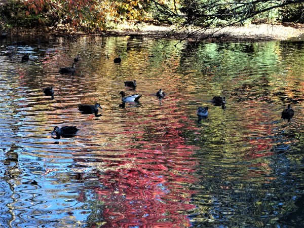 Blackheath duck pond.