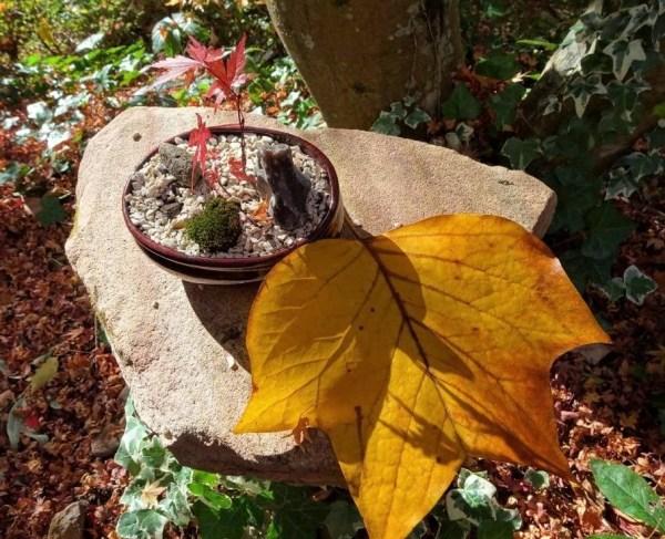 Tulip tree leaf in autumn.