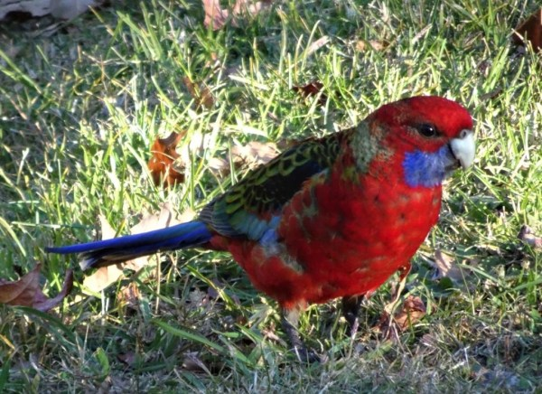 Crimson rosella foraging.