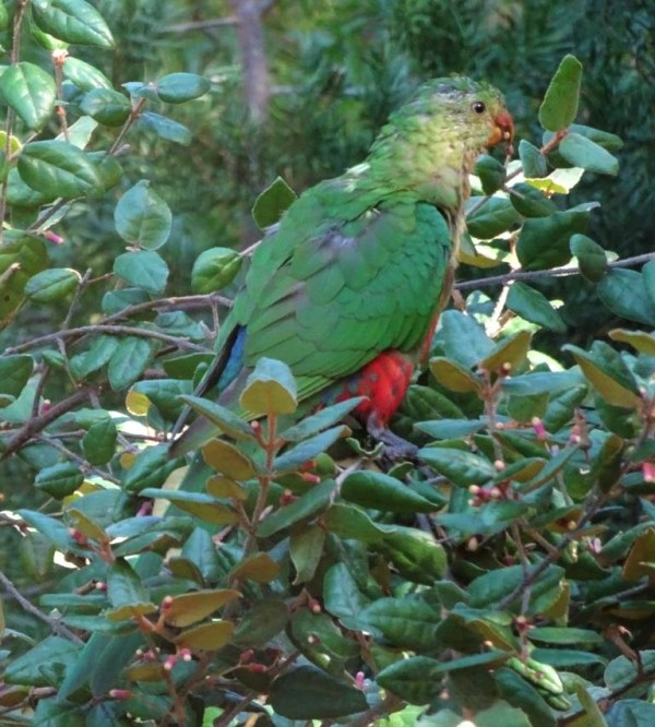 King parrot in mountain correa.