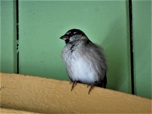 Sparrow in Blackheath railway station