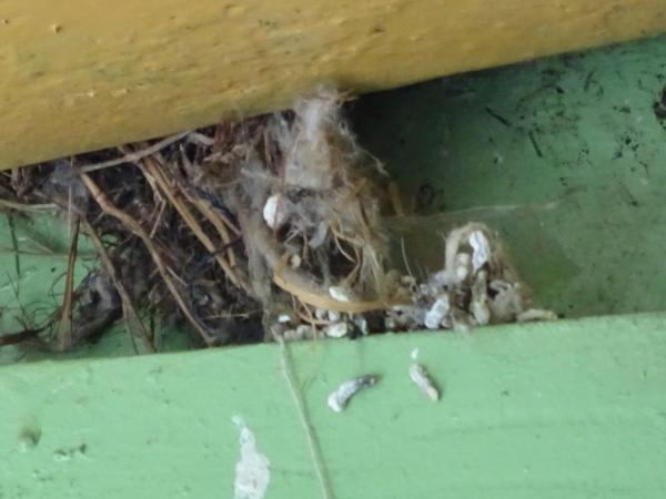Sarrow nest at Blackheath Railway Station