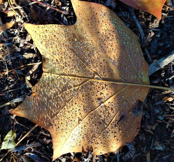 Tulip tree leaf.