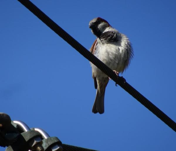 Sparrow on a wire.