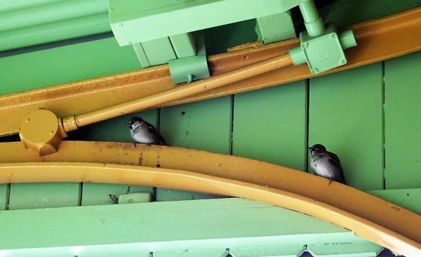 Sparrows at Blackheath Railway Station.