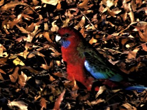 Crimson rosella in the autumn leaves.