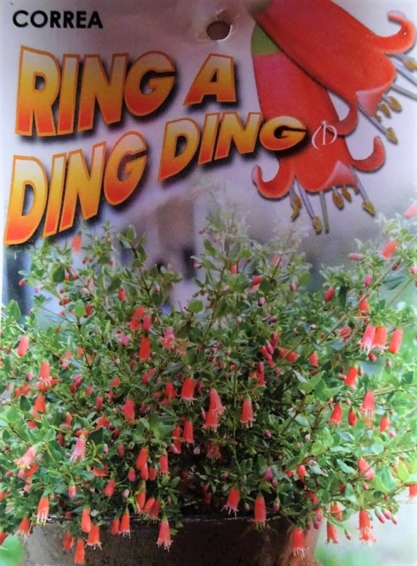 Correa ring-a-ding ding