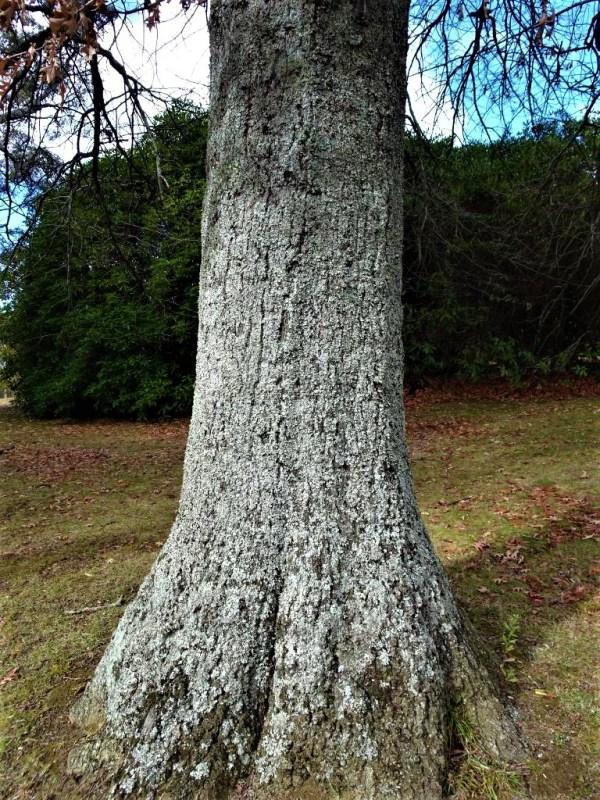 Lichen on oak tree trunk